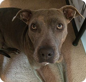 Olympia, WA American Staffordshire Terrier Mix. Meet