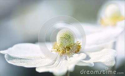 Blurred background with white flowers with yellow stamens close up blurred background with white flowers with yellow stamens close up mightylinksfo