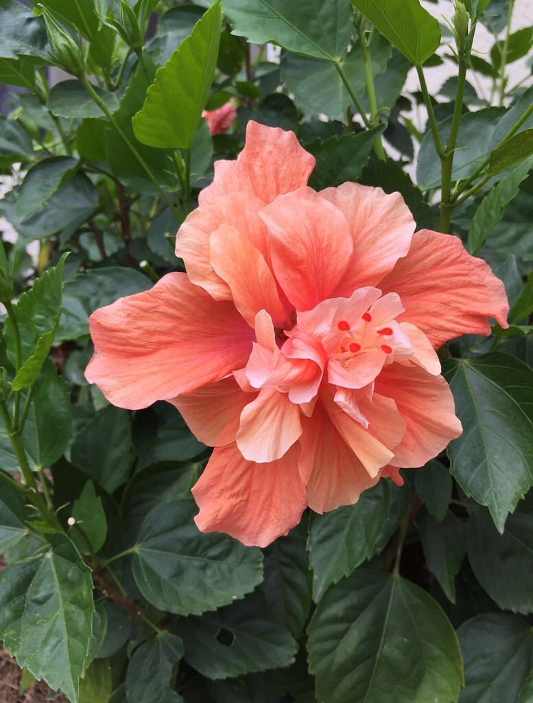Day 273: Joni\'s Beautiful Things Challenge. Orange Double Hibiscus ...