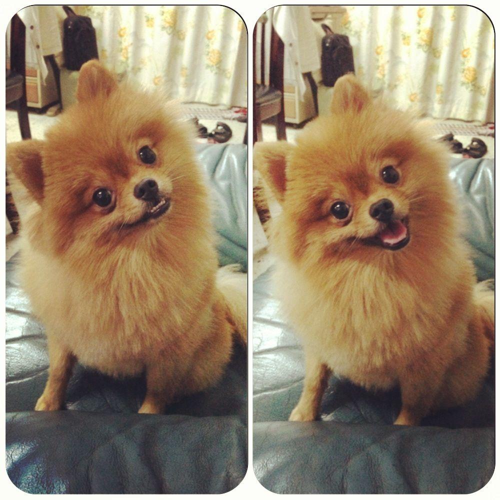 This Is Lerh Lerh From Malaysia D Lerh Lerh 3 Pomeranian