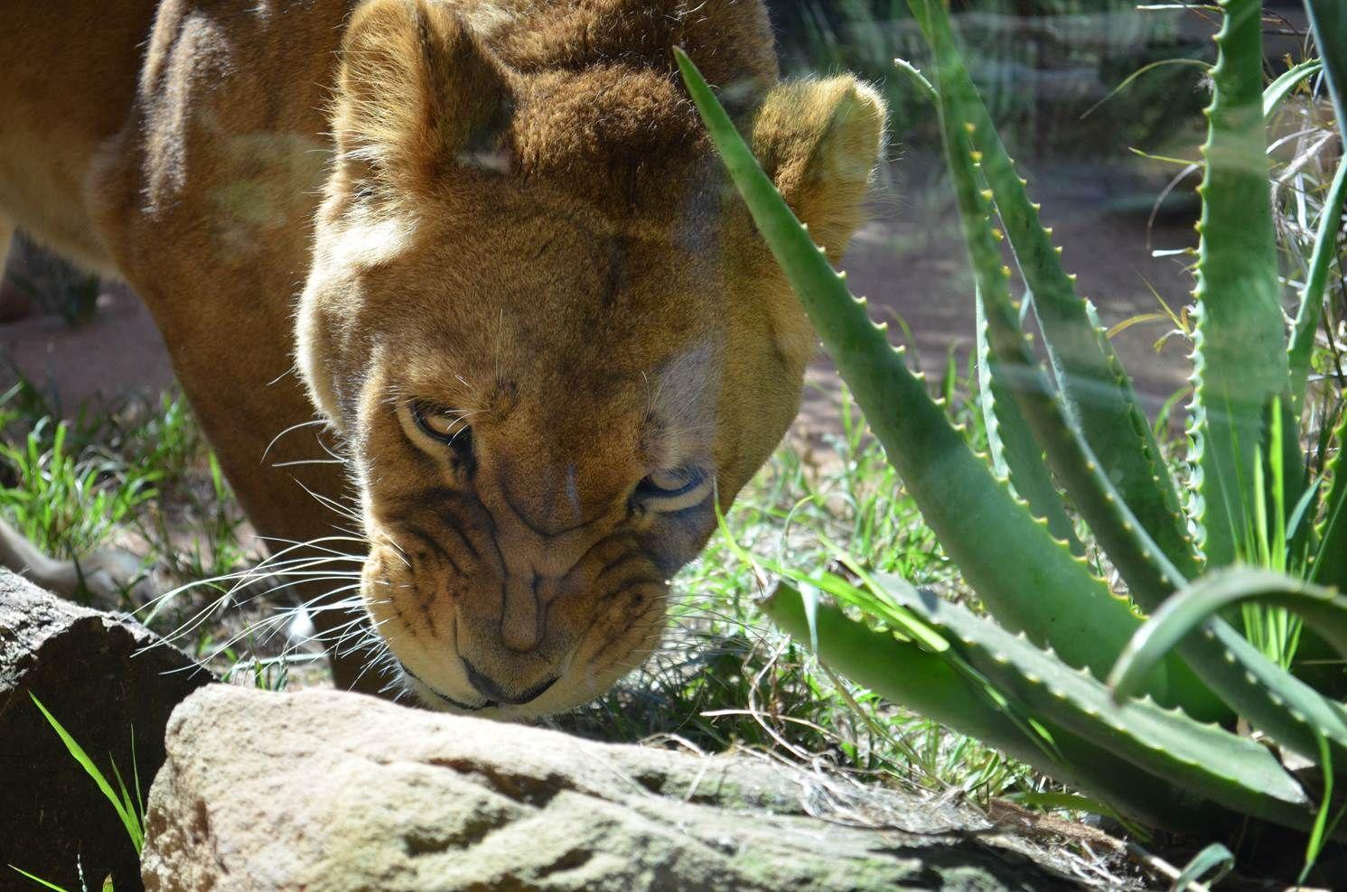 Lioness, Taronga Zoo