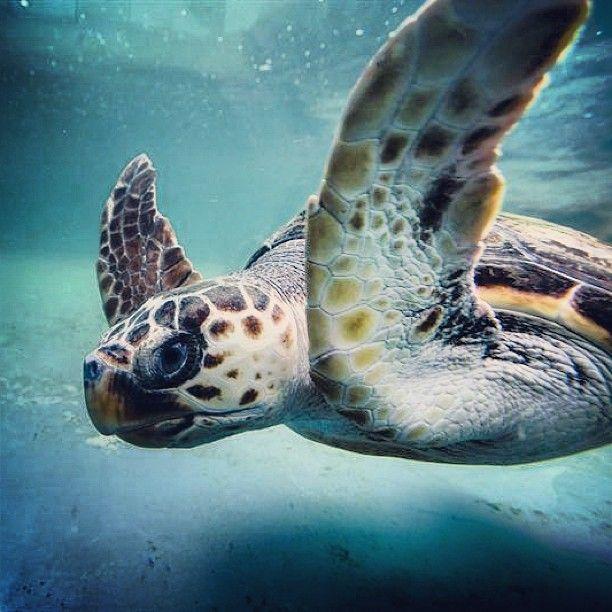 """Una tortuga """"Boba"""" de la especie Careta careta nada en el acuario del Aula del Mar, que acoge al Centro de Recuperación de Especies Marinas Amenazadas (CREMA) de Málaga, en el sur de España. Foto: EFE"""