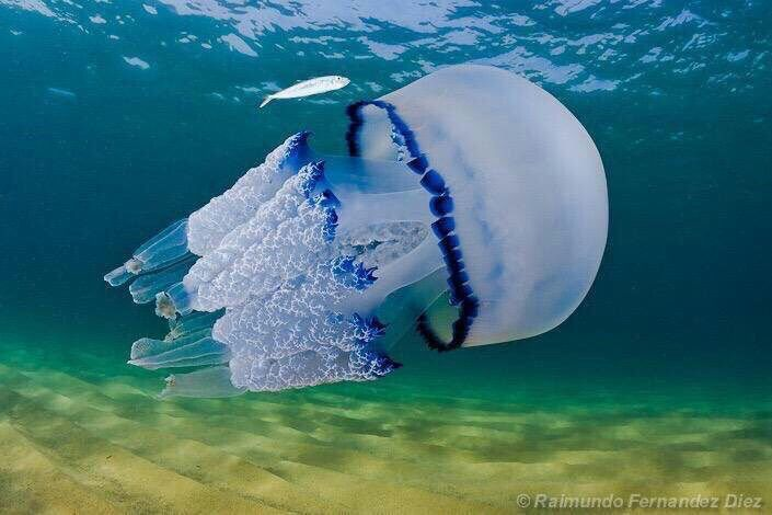 قنديل البحر Rhizostoma Pulmo من أجمل أنواع قناديل البحر في العالم من روائع وبديع صنع الخالق سبحانه Animal Planet Incredible Creatures Sea Animals