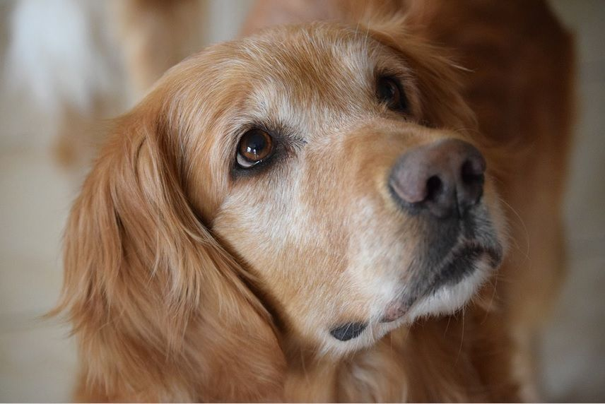 Learn How To Manage Seizures In Golden Retrievers Seizures