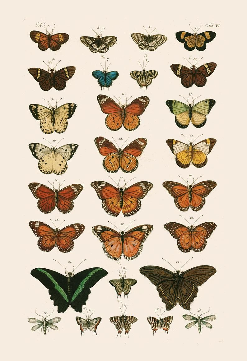 VINTAGE BUTTERFLY PRINT- High Quality Reproduction - Old Nature Print Butterfly Art Antique Natural History Print - Vintage Science Print
