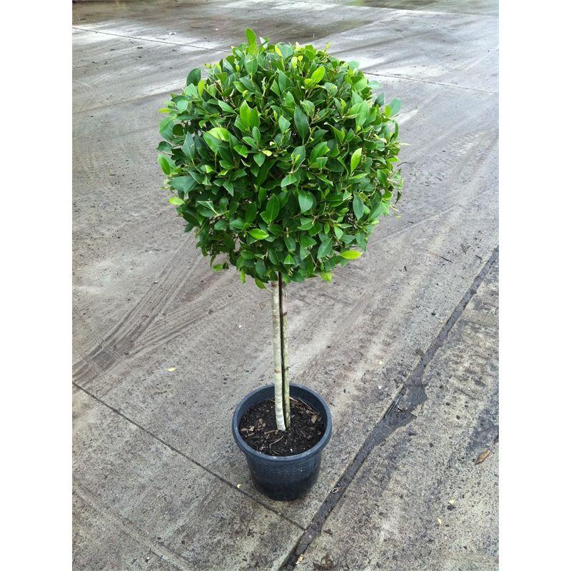 300mm Ficus Hillii Ficus Tropical Garden Plants