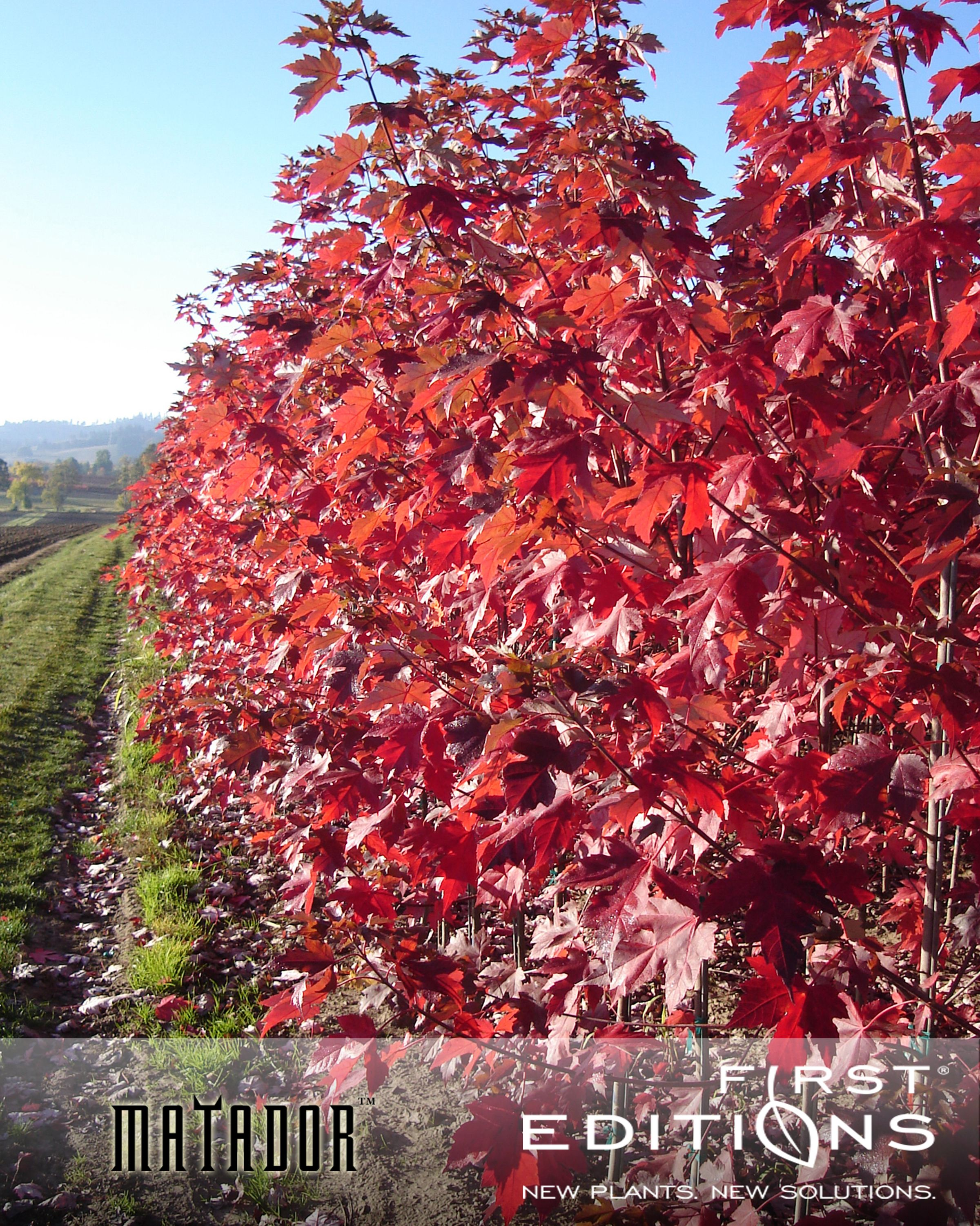 Ahorn October Glory Perfect For Fall Color Lovers Matador Maple Has A Deeper