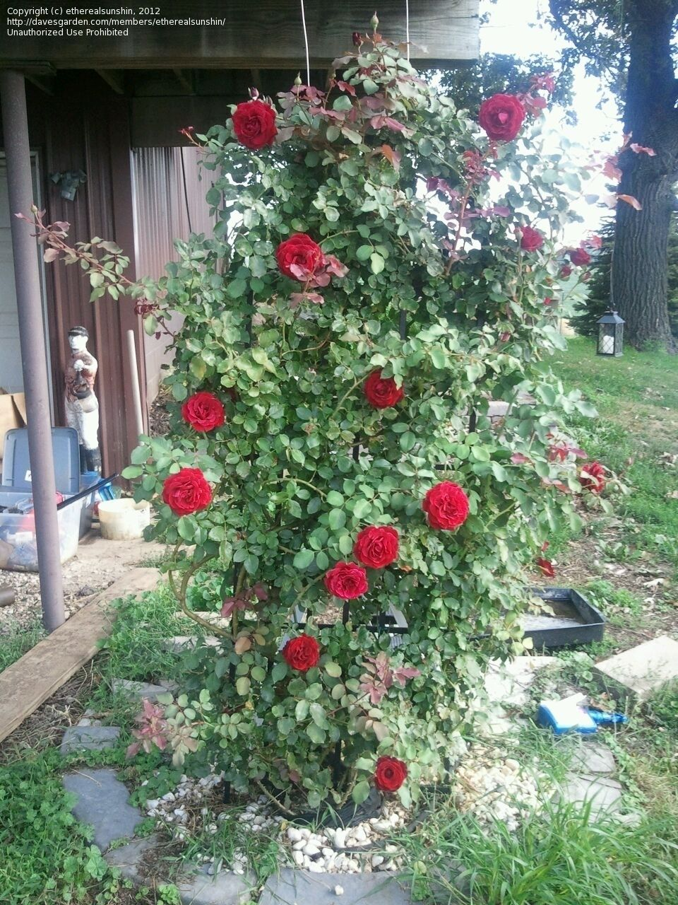 Ho/how to take care of climbing roses for winter - Full Size Picture Of Climber Hybrid Tea Large Flowered Climbing Rose Don