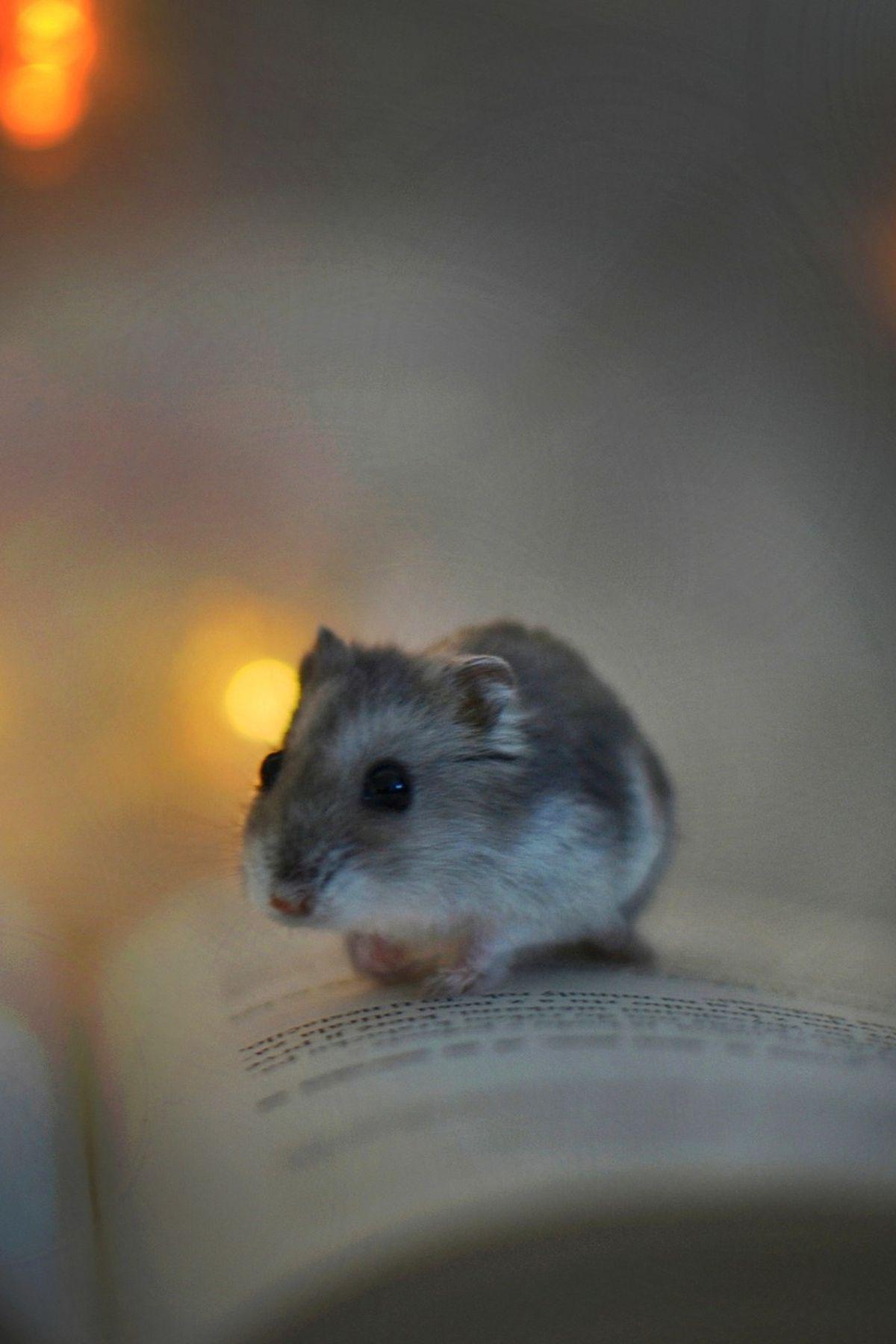 Habitrail Ovo Dwarf Hamster Habitat Spiffy Pet Products Dwarf Hamster Cute Small Animals Hamster Habitat