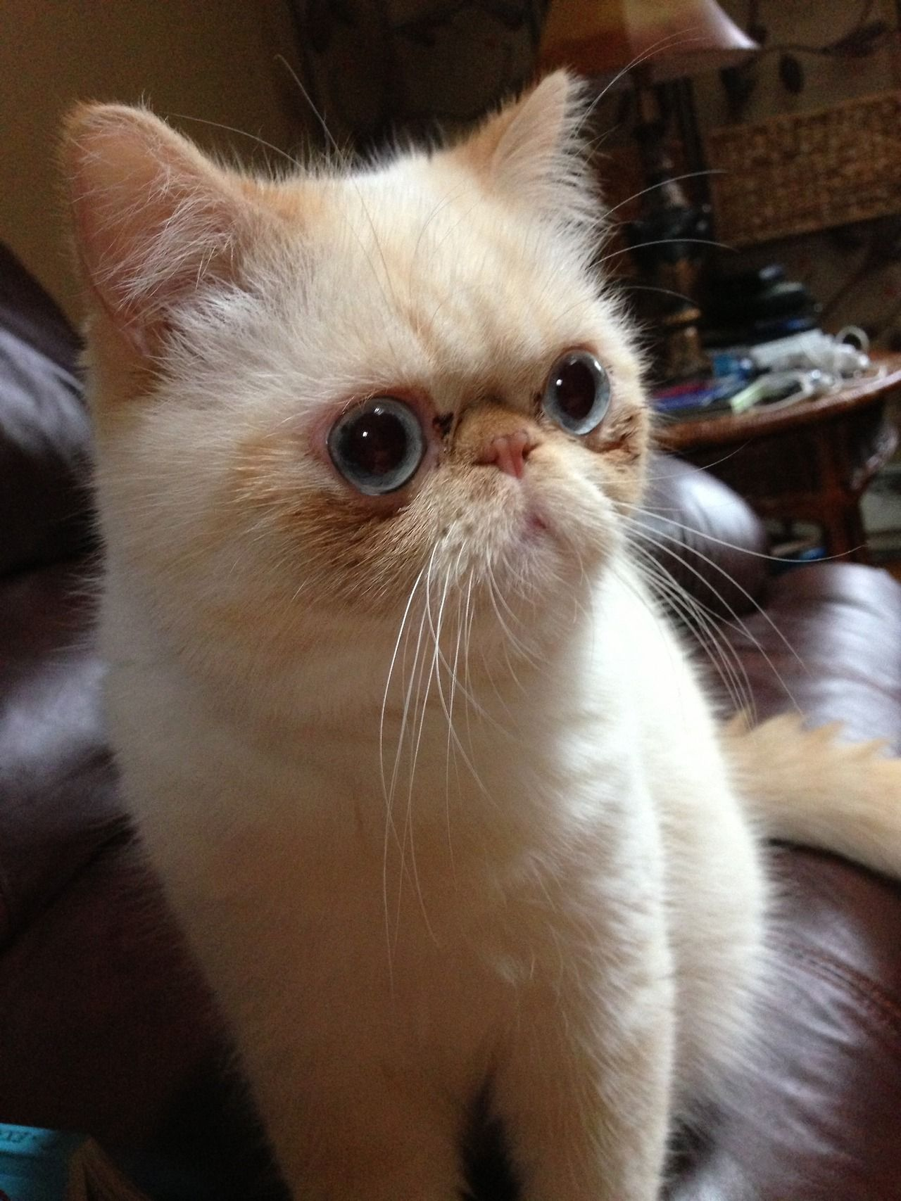 (ᵔᴥᵔ)... love my Exotic Shorthais ) Crazy cats, Cute