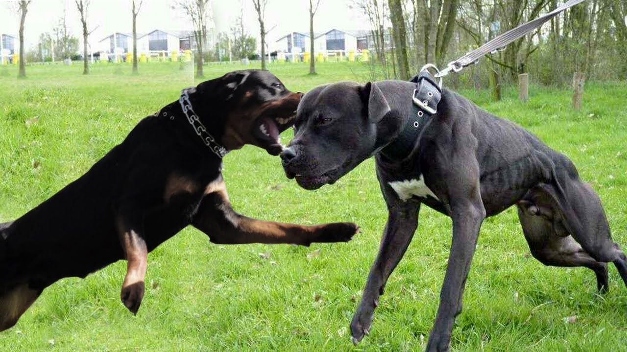 Pit Bull Vs Rottweiler Fight Animals Rottweiler Dangerous