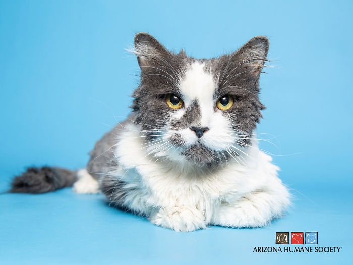 Arizona Humane Society Removes 2 Pounds Of Matted Fur From Fluffer The Cat She Gets Adopted 2 Days Later In 2020 Humane Society Cats Animals