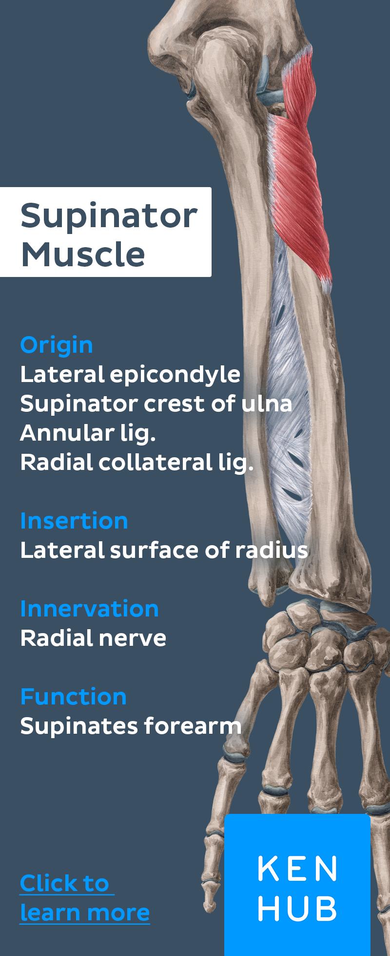Deep Extensors Of The Forearm Hercules Chiropractic College
