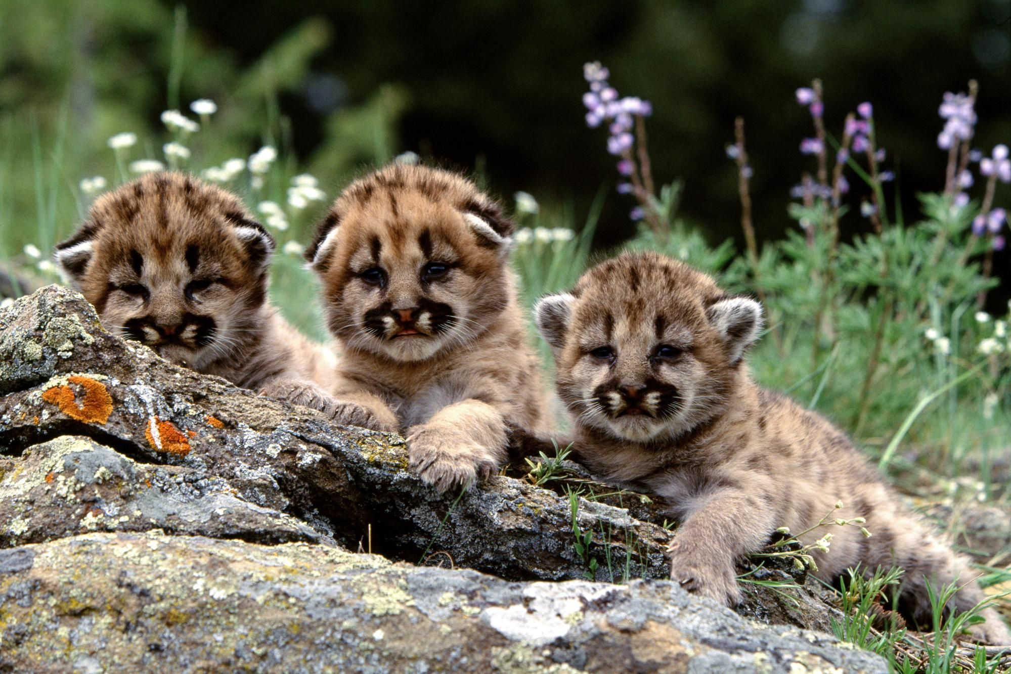 cheetah cubs 1 wallpaper | animals - here kitty kitty | pinterest