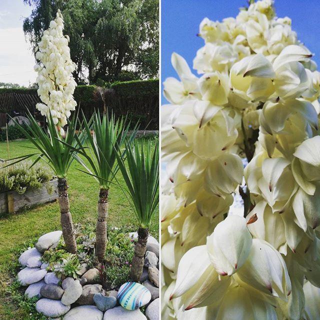 Quand le Yucca de ton jardin fait une fleur ^^ #carinecreation65 ...
