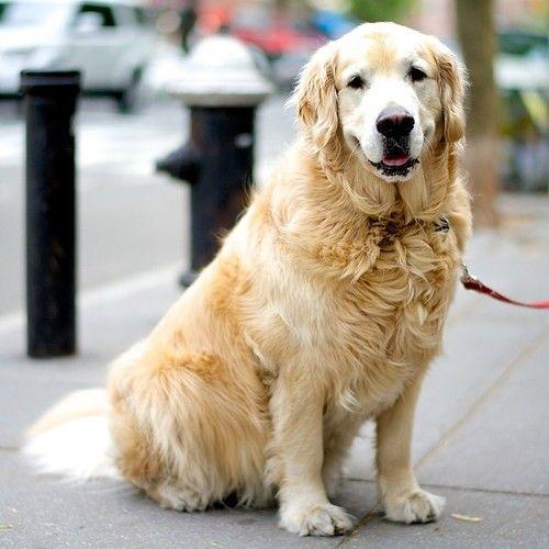 Sully Golden Retriever Hudson Grove St New York Ny The