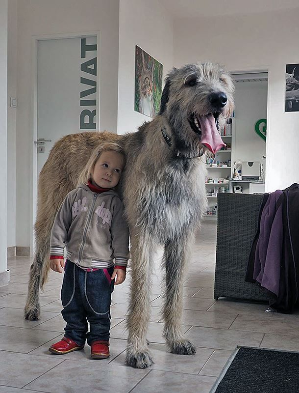 Irish Wolfhound - Tap the link to get a splash of swanky ...
