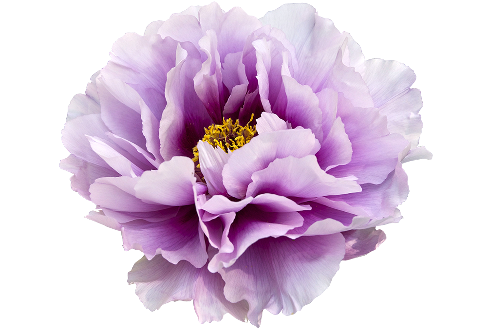 Violet Peony Clip Art Transparent Background Free