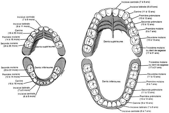 Sch ma dentition humaine os et muscles de la t te by - Dessin de dent ...
