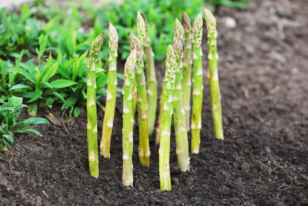 How To Grow Asparagus: The Delicious Vegetable That Grows Back Every Year #howtogrowvegetables