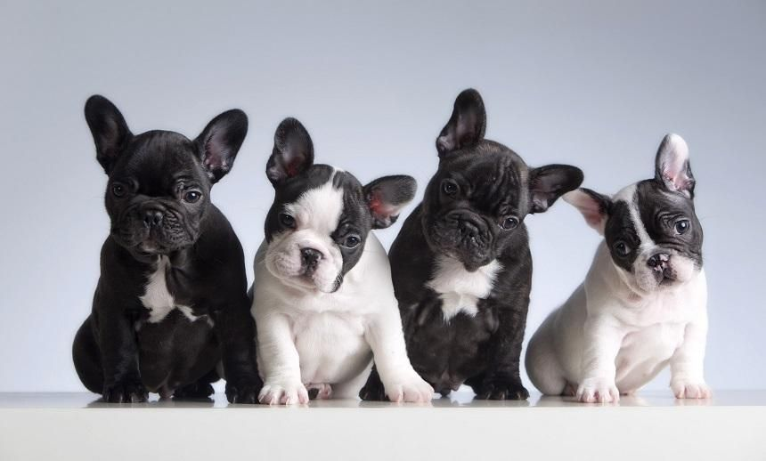Are French Bulldogs High Maintenance French Bulldog Breed Bulldog Puppies Bulldog Breeds