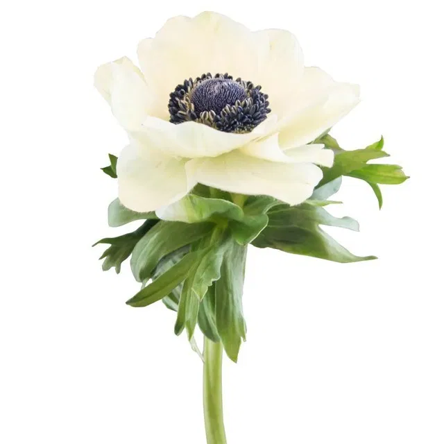 Oc Wholesale Flowers Anemone Wholesale Flowers Anemone Flower Delivery