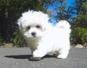 Maltese Puppy Virginia Maltese Puppy Cute Cats And Dogs