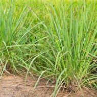 Plants that repel mosquitos #plantsthatrepelmosquitoes