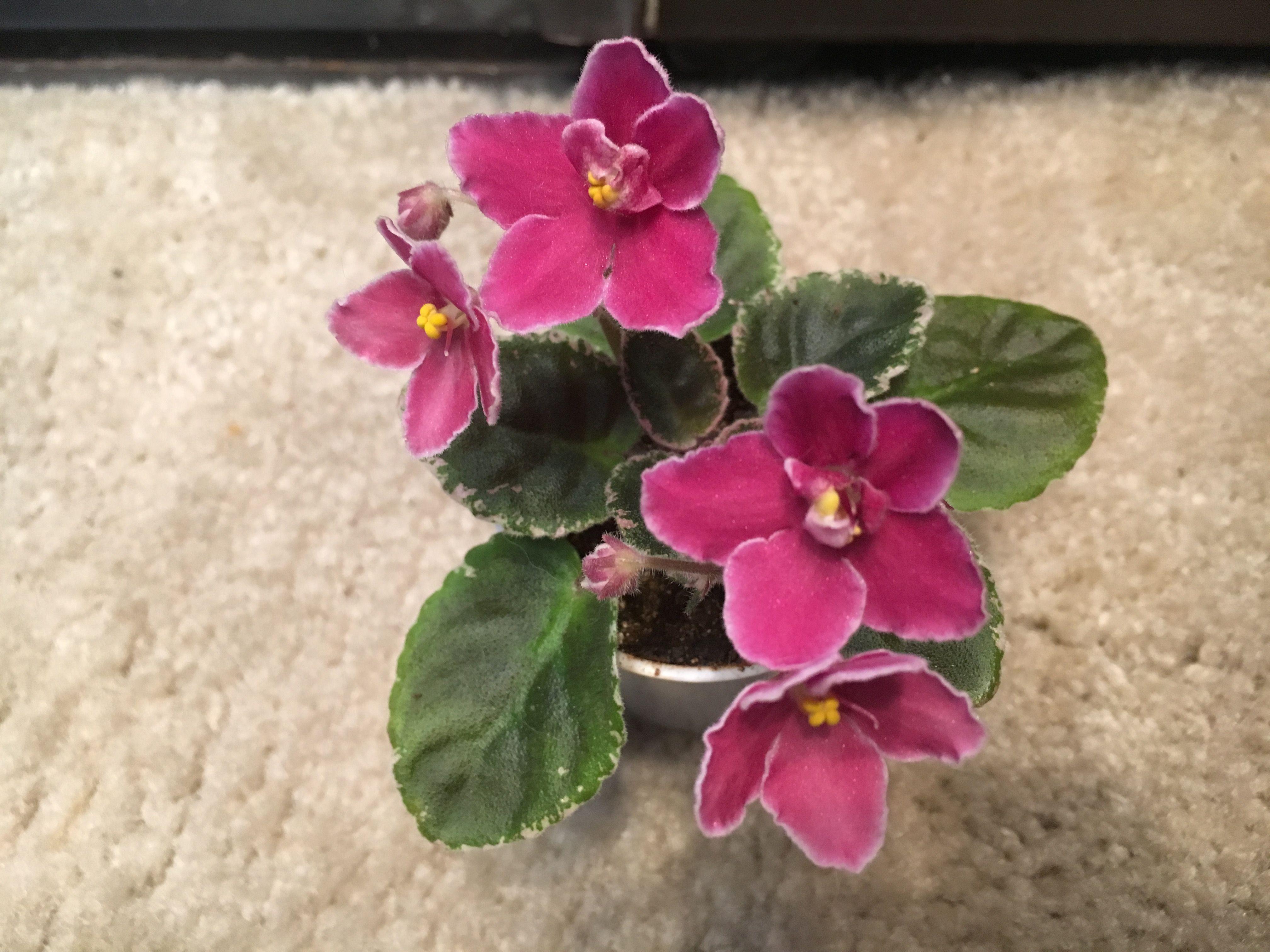 Pin by Karen Lohnes on My Violets African violets