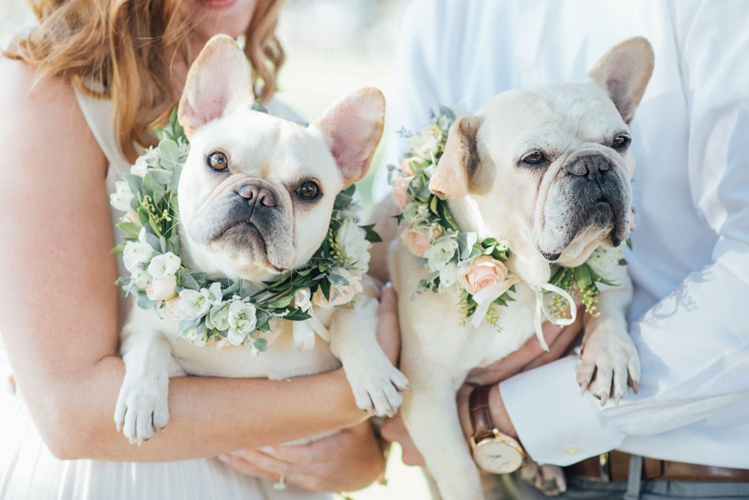 French Bulldog Pups For Sale In Pune On French Bulldog Breeders