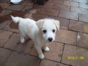 Maltese X Jack Russell Puppy Sydney Australia Free
