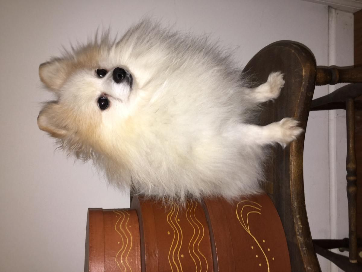 Reduced Tiny Proven Purebred Pomeranian Stud For Three