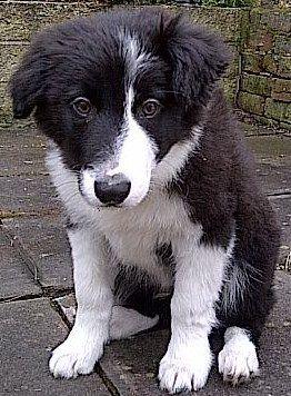 Border Collie Puppy Goruntuler Ile Yagli Boya
