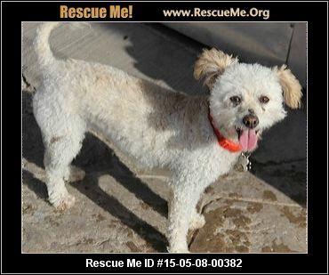 Rescue Me ID: 15-05-08-00382Polly (female) Bichon Frise Mix