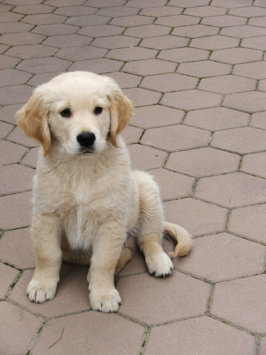 Golden Retriever Puppy Omg I Want Cute Animals Cute Dogs