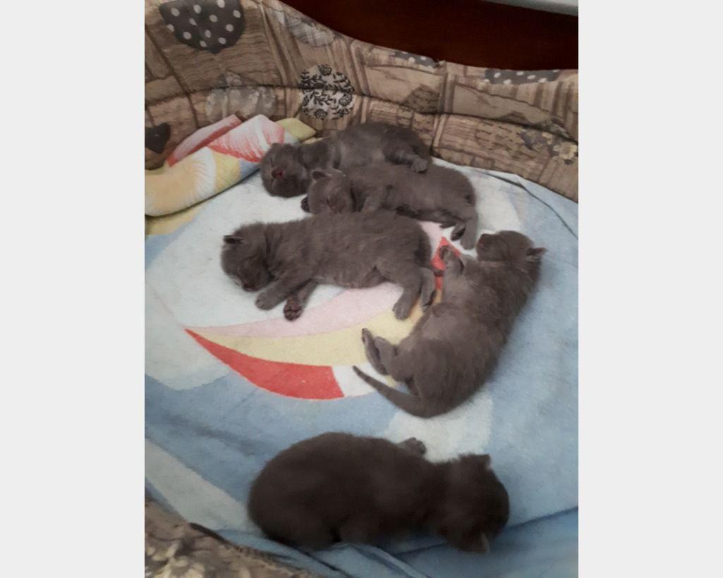 Vendita Tappeti A Milano cuccioli certosino anfi | cuccioli, gattini e cani e cuccioli