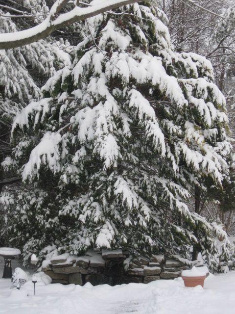 Snow-ladened arborvitae in our yard