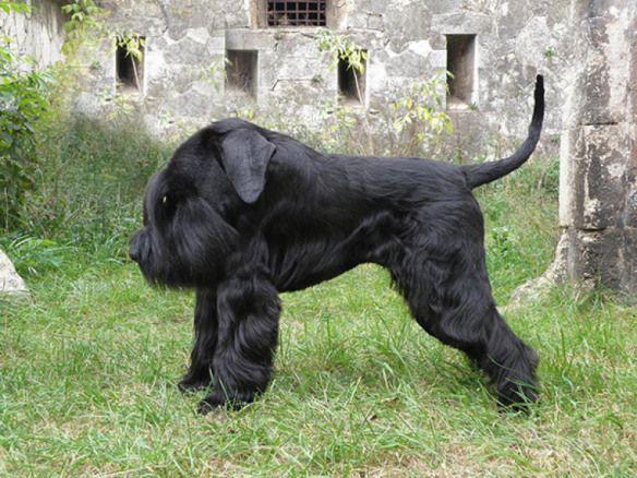 dogs without necks animals 5 ana christy pinterest schnauzer