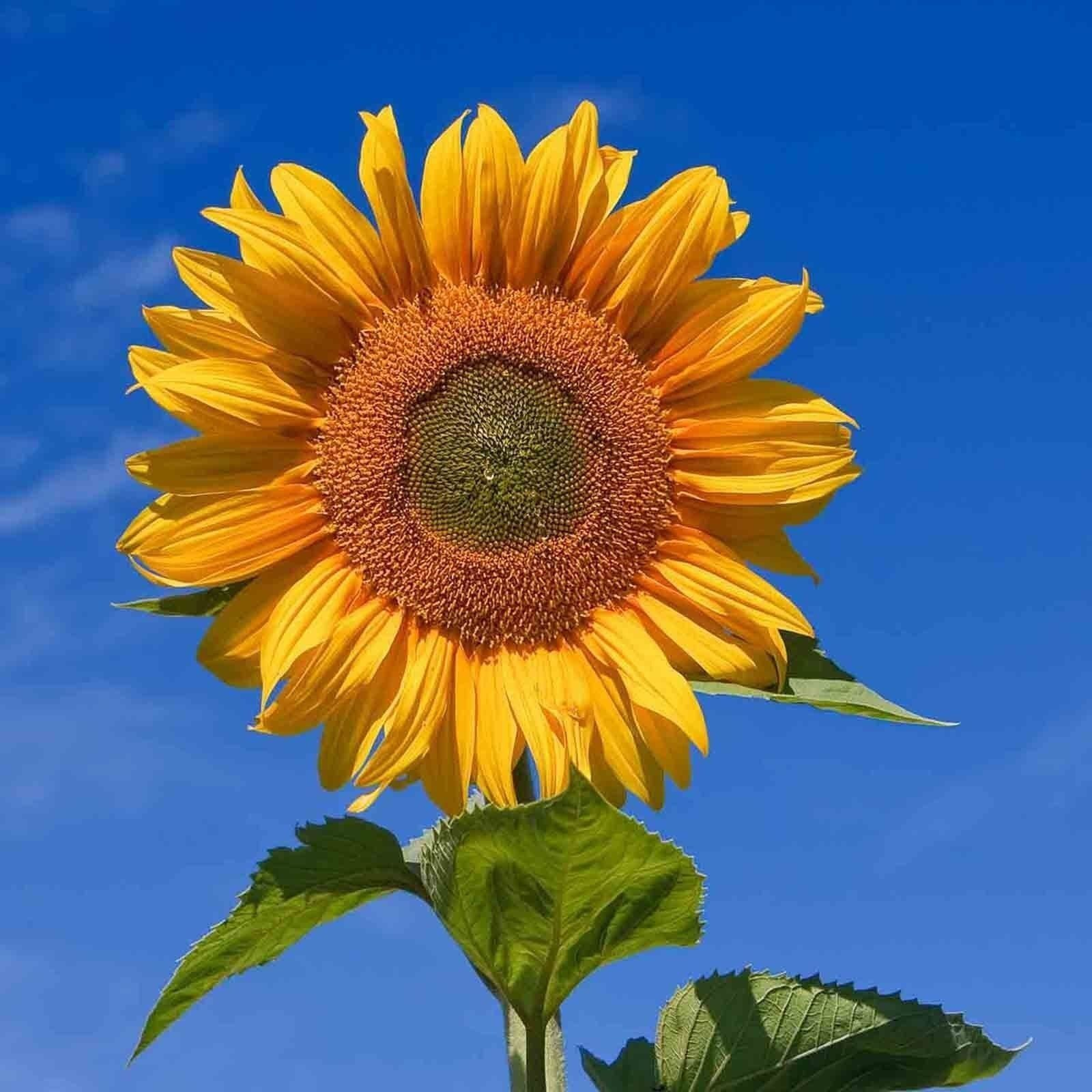 Details about 20 TAIYO ORGANIC SUNFLOWER SEEDS TALL FREE