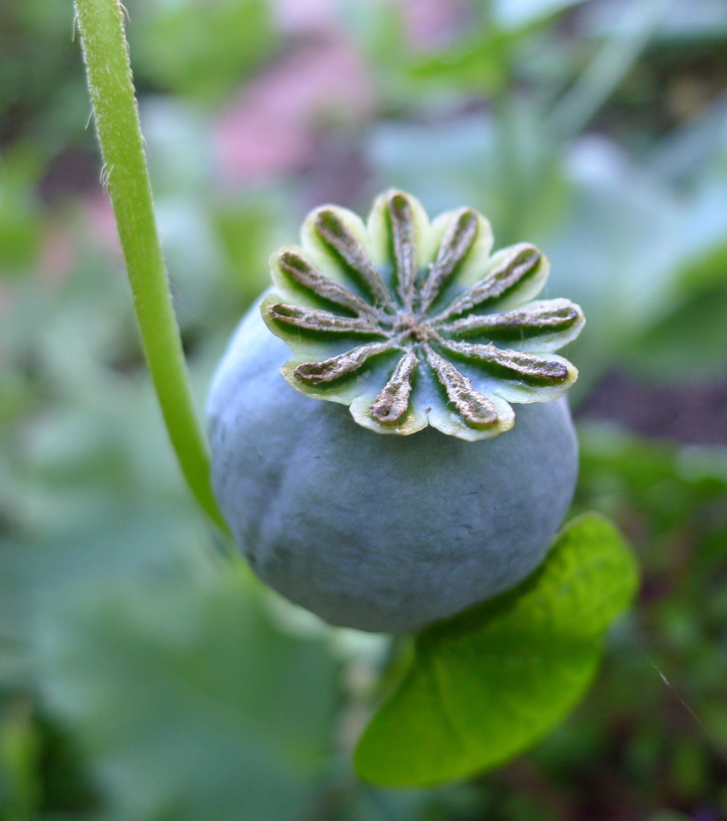 Poppy Bread Seed Hungarian Blue Seed Pod Seeds Pinterest Seeds