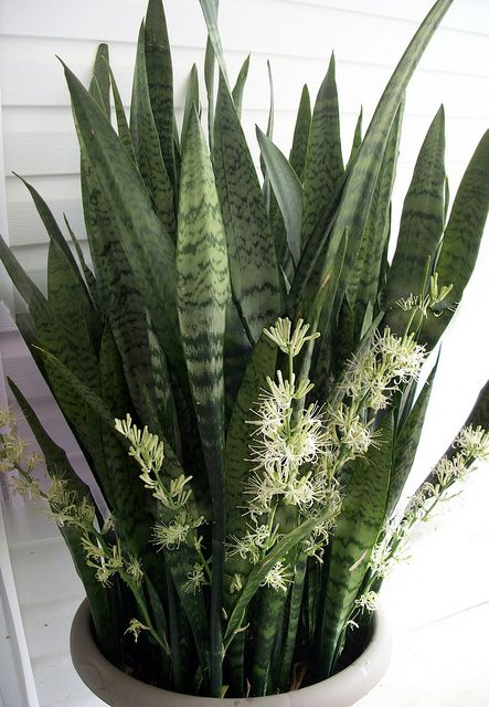 Mother In Laws Tongue Snake Plant Sansevieria Plant Ornamental Plants Plants