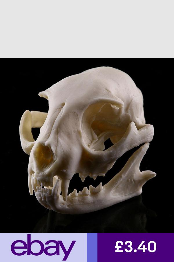 Other Fossils eBay Collectables Cat skull, Skull model