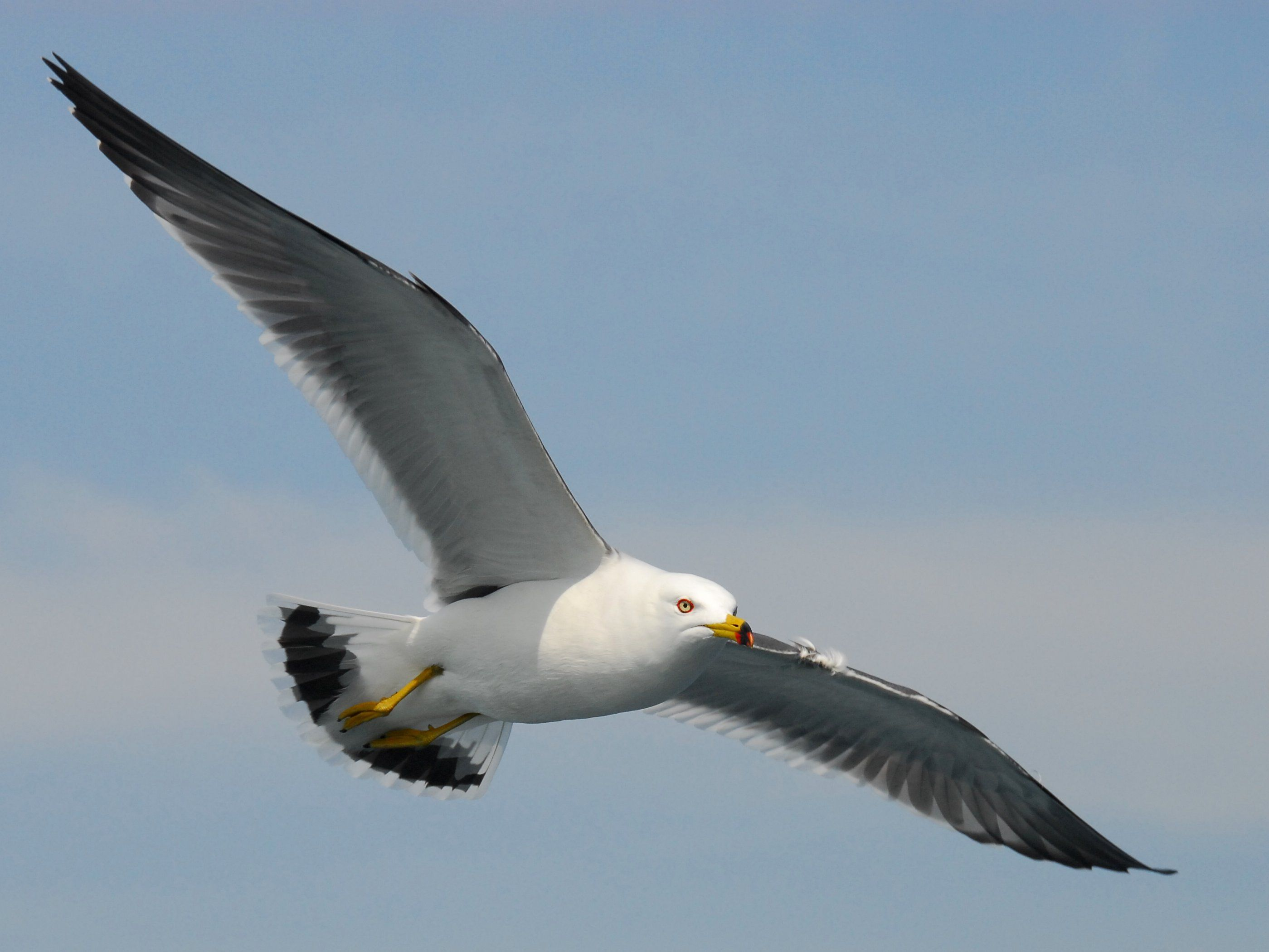 Black Tailed Gull Jpg 2799 2101 Fliegende Vogel Mauersegler Vogel Im Flug