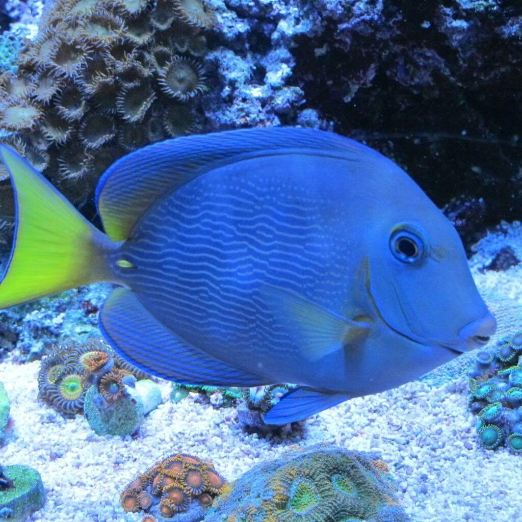Atlantic Blue Tang Peces