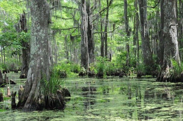 Louisiana Swamp Land For Sale