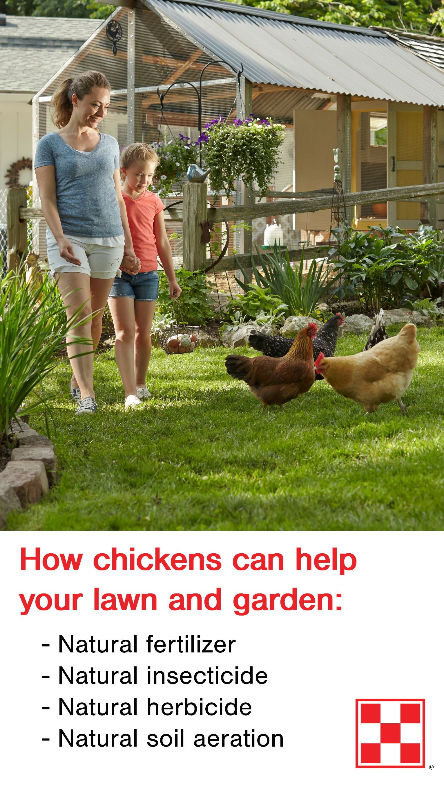 Raising Chickens In Backyard 4 ways backyard chickens help gardens   gardening   pinterest