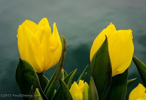 Tulips @ Lewis Ginter Botanical Garden - Richmond, VA