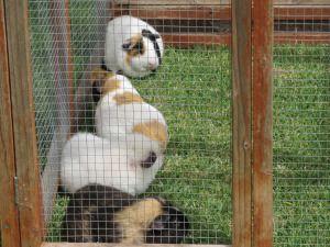 Guinea pigs in a guinea pig lawn tractor - the fertilizing lawn mower!