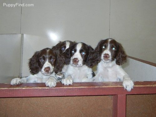 We Got Our Springer Spaniel From Liberty Kennel Springer Spaniels Mike The Breeder Is The Best Great Huntin Springer Spaniel Puppies For Sale Hunting Dogs