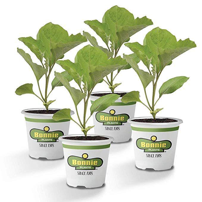 Amazon Com Bonnie Plants Black Beauty Eggplant 4 Pack 400 x 300